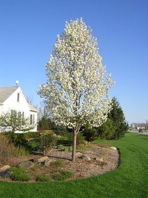 Cleveland Pear Tree Widely Adaptable White Blooms Easy To Grow Size 5 To 6 Ft Ornamental Pear Tree Flowering Pear Tree Ornamental Trees