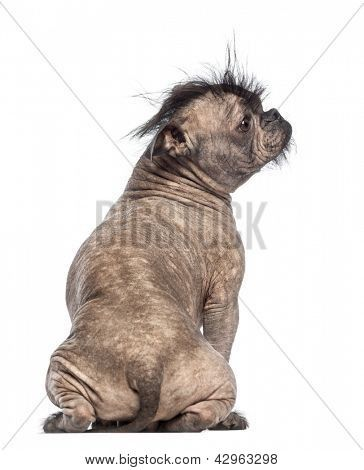 Rear View Of A Hairless Mixed Breed Dog Mix Between A French