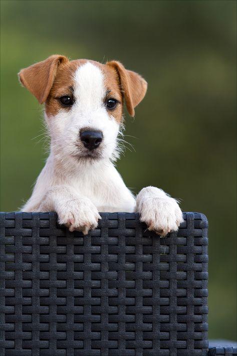 parson russell terrier broken coat