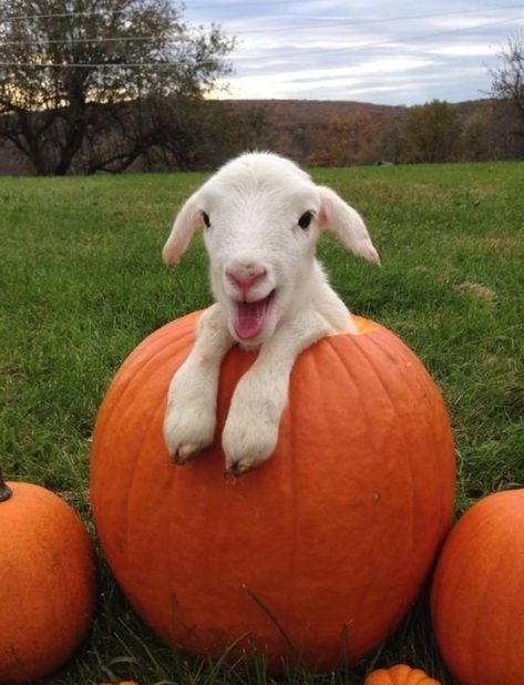 Sheep + pumpkin :) : awww, look at his sweet smile♥♥♥♥ Cute Little Animals, Cute Funny Animals, Cute Goats, Mini Goats, Animal Jokes, Baby Goats, Cute Animal Pictures, Animal Pics, Cute Creatures