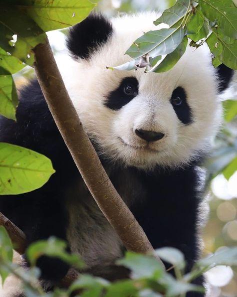 List Of Pinterest Ganda Panda Babies Images Ganda Panda Babies