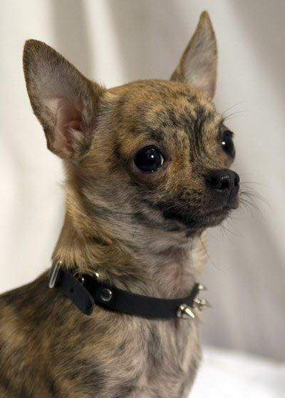 I Am On The Search For A Brindle Chihuahua To Be Bandit S Little