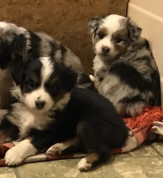 Litter Of 3 Miniature Australian Shepherd Puppies For Sale In St