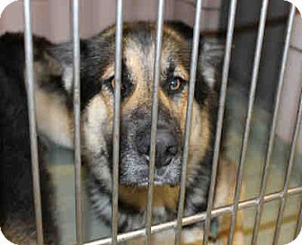 Chicago Ridge Il German Shepherd Dog Mix Meet Stryder A Dog For Adoption Http Www Adoptapet Com Pet 16031512 Chica Shepherd Dog Mix German Shepherd Dogs