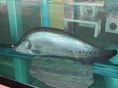 ปลากราย Spotted Featherback ปลาน ำจ ด ปลา