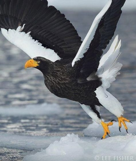 The Steller's Sea Eagle (Haliaeetus pelagicus) [2] is a large bird of prey in the family Accipitridae. It is an eagle that lives in coastal northeastern Asia and mainly preys on fish and water birds