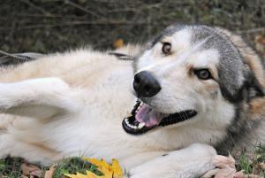 Nieko Is An Adoptable Alaskan Malamute Dog In Union City Tn One