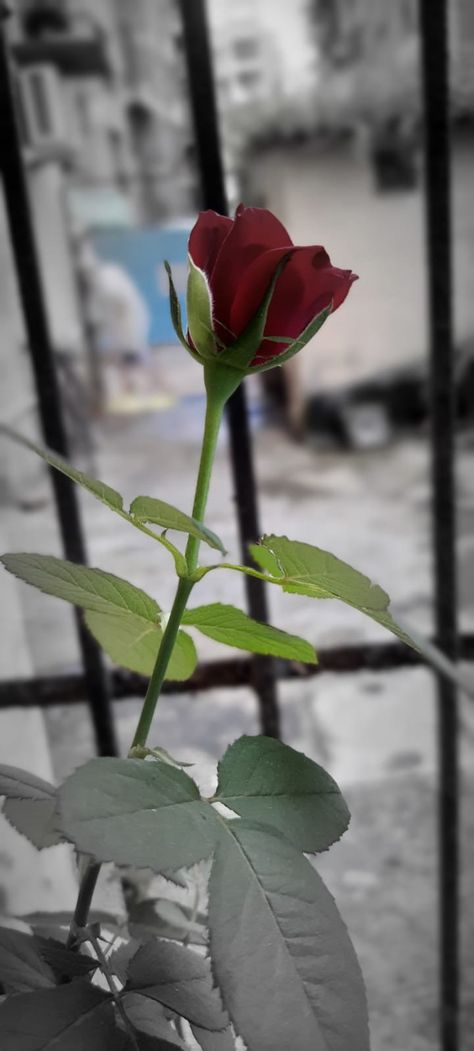 #mobilephotography #rose #red #love #nature