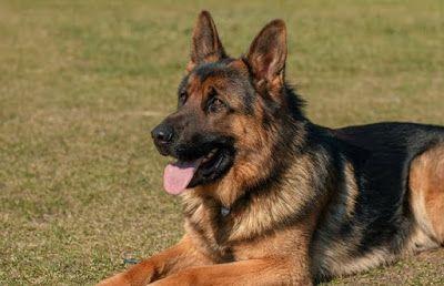 تفسير حلم رؤية الكلب في المنام Corgi Dogs Animals
