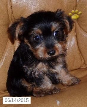 Yorkshire Terrier Puppy For Sale In Ohio Yorkshireterrierforsale Yorkshire Terrier Puppies Yorkshire Terrier For Sale Yorkie Puppy