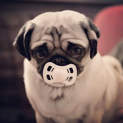 Best Dog Trick Ever Play Dead With Dramatic Pug Stumble Baby