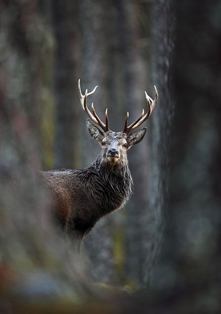 Red Deer Stag in Pine Forest, Cairngorms National Park, Highlands, Scotland  Picture: Neil McIntyre