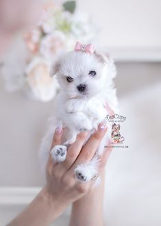 Tiny Maltese Puppy For Sale Teacup Puppies 270 A In 2020 Teacup Puppies Teacup Puppies For Sale Maltese Puppy