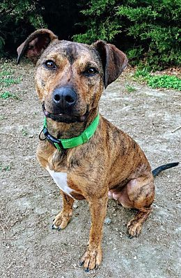 Millersville Md Pit Bull Terrier Meet Cocoa A Dog For Adoption