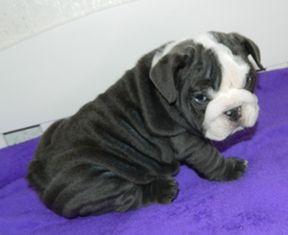 Blue Seal English Bulldog Bulldog French Bulldog French