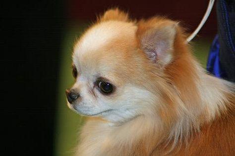Susse Mini Chihuahua Mix Welpen Zu Verkaufen Vdh Fci Chihuahua Dogs Cute Chihuahua Chihuahua Breeds