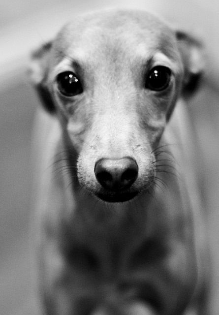 Italian greyhound puppy eyes.. This breed of dog is the cutest thing ive ever seen