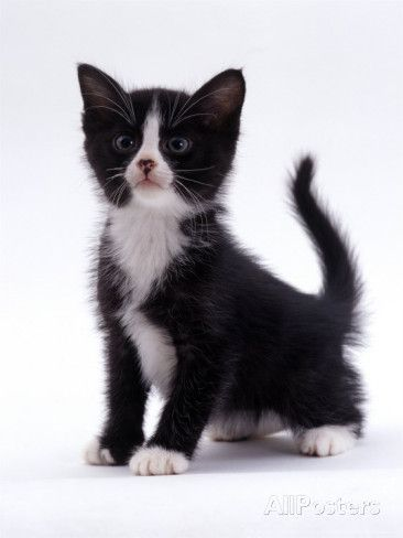 Domestic Cat 6 Week Black And White Kitten Photographic Print By Thiswaycome Com White Kittens Black White Kittens Domestic Cat