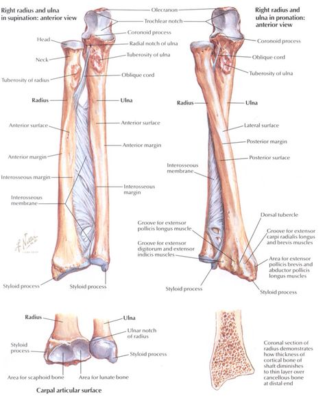 Elbow And Wrist Joint Including Fascia Radius And Ulna Pronation Wrist