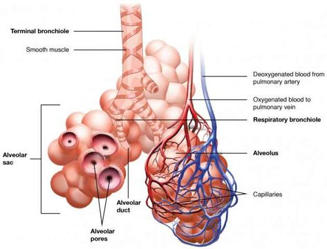 how do capillaries interact with the respiratory system