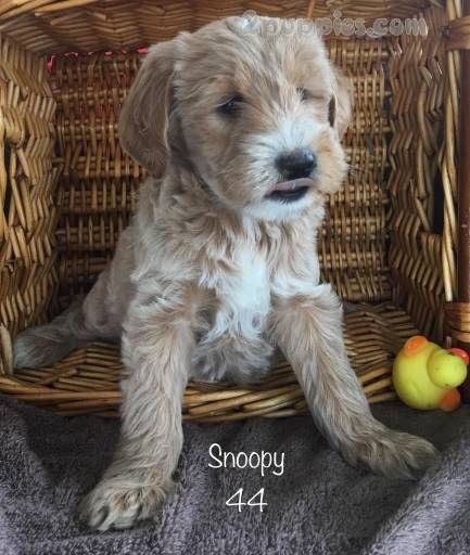 Find Your Dream Puppy Of The Right Dog Breed At Golden Doodle