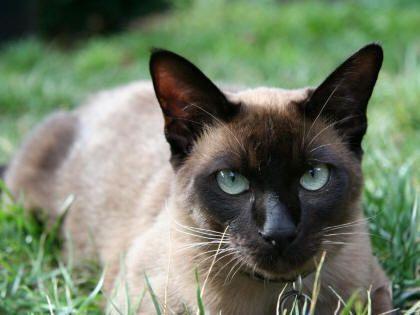 Tonkinese Cat Smartest Cat Breed Tonkinese Cat Siamese Cats Tonkinese Kittens