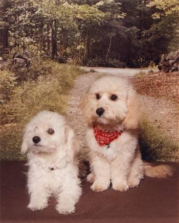 Bich Poo Bichon Frise Poodle Cross Susseste Haustiere Hunde
