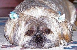 Shih Tzu Hair Loss Shih Tzu Shih Tzu Puppy Shih Tzu Dog