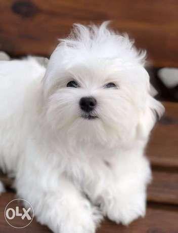 Bichon Maltese Dogs Olx Online Classifieds Cute Bichon Maltese With Mope Tie Stock Photo Download Bichon Maltese Puppies For Sal In 2020 Maltese Puppy Bichon Puppies