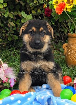German Shepherd Dog Puppy For Sale In Miami Fl Adn 66049 On Puppyfinder Com Gender Male Age 9 Weeks Old German Shepherd Puppies German Shepherd Dogs Dogs Puppies