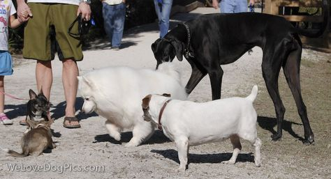 Dog Pictures Puppy Dog Convention Black Great Dane Samoyed