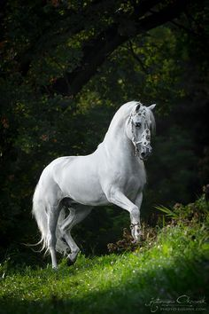 So beautiful. Stunning white horse at the edge of the forest in Emerald green grass field.