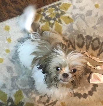 Shih Tzu Puppy For Sale In Riverview Fl Adn 71084 On Puppyfinder