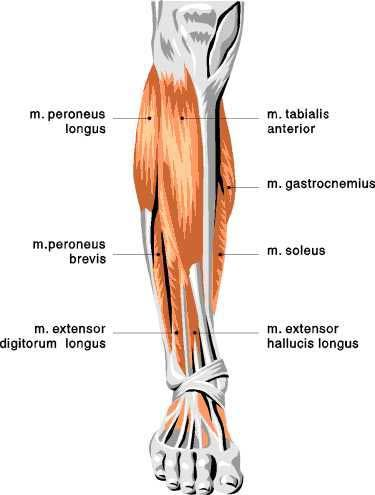 11 Best Triggerpunkt Images On Pinterest Anatomy Muscle And Muscles