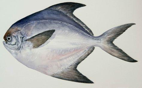 Pomfret Watercolor Fish Fish Art Fish Design