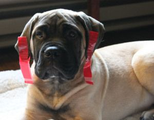 Ear Taping For Beautiful Ear Set Boxer Dogs Dogs Boxer Love