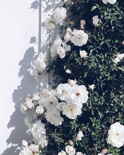 White Flowers Flower Aesthetic Beautiful Flowers Flower Wallpaper