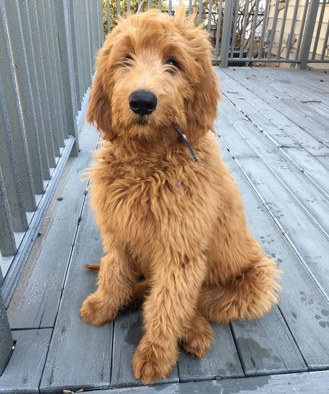 Give you what stick mom? I don't see a stick anywhere. #innocent #4months #17weeks #goldendoodle #dogsofig #redroyalgoldendoodles #groodle by winston_thedood