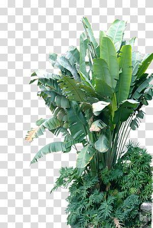 Green Bird Of Paradise Plant Musa Basjoo Leaf Banana Plant Banana Tree Transparent Background P Birds Of Paradise Plant Paradise Plant Banana Trees Landscape