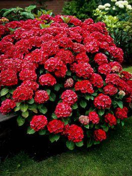 Buy Hydrangeas Hydrangeas For Sale Online The Tree Center Hydrangeas For Sale Red Hydrangea Hydrangea Garden