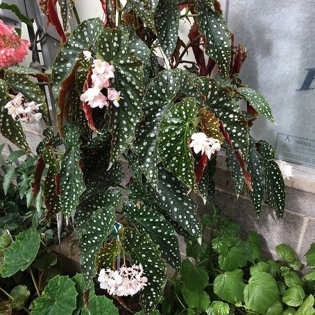 Begonia Amelia With Images Christmas Wreaths Begonia