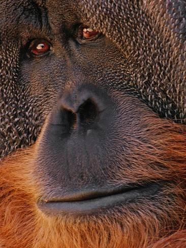 Photographic Print: Bornean Orangutan, Pongo Pygmaeus Poster by Frans Lanting :