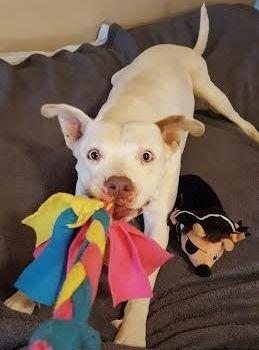 Adopt Shine On Pitbull Terrier Pitbull Terrier Puppies Pitbulls