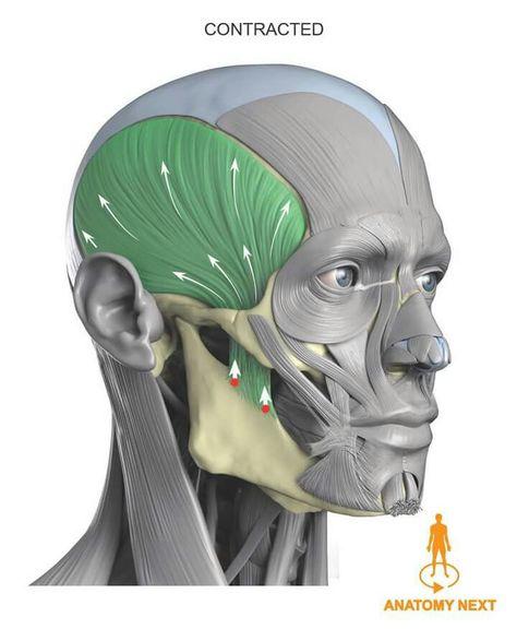 Sagittale Plane 1 1 Human Head w Ness Anatomical Demonstration Model