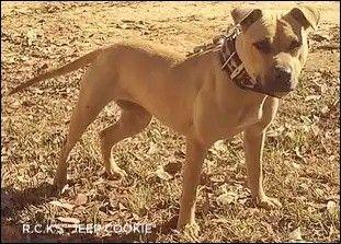 Pin On American Pit Bull Terrier Apbt Game Dog Working Pitbull