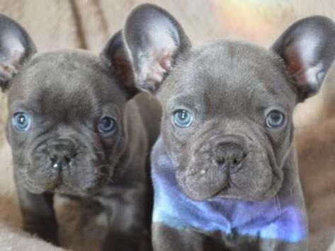 Ready Now Blue Wigan Greater Manchester Pets4homes Dogs