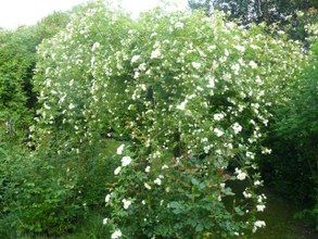 Rosal trepador Banksiae Alba plena - Banksiana