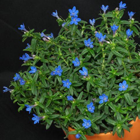 Blau blühende Pflanzen und Blumen bestimmen Jardin Terraza