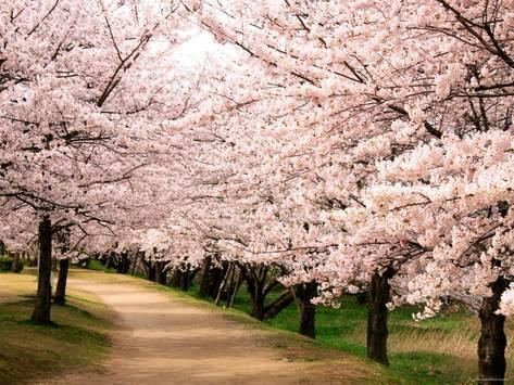 Photographic Print Poster Of Row Of Cherry Trees 24x18in Cherry Tree Tree Lined Driveway Driveway Landscaping