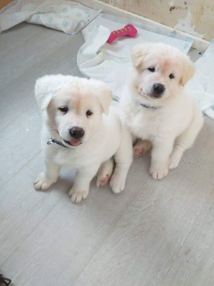 KUWAIT DOGS AND PUPPIES ADOPTION AND SALES email us at